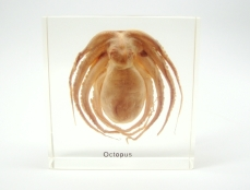 Octopus Specimin in Lucite