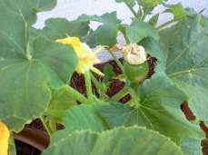 Female Pumpkin Flower Halloween Container Garden by The Year of Halloween