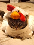 Angry Cat in Halloween Chicken Costume Hilarious