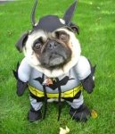 Cute Batman Pug
