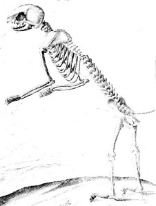 Animal-Cat-Anatomy-Skeleton-1625 - Copy